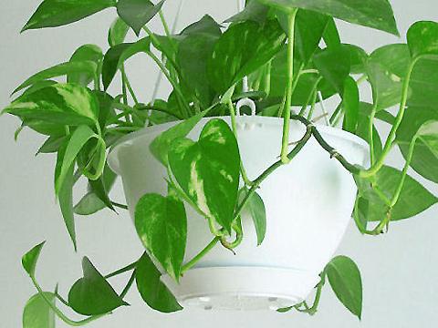 Черенки таких растений как гортензия