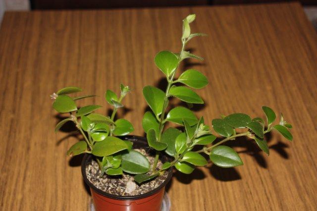 редкие комнатные растения интернет магазин семян
