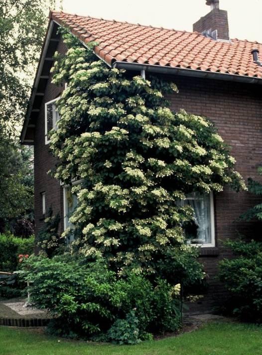 Черешковая гортензия не цветет почему