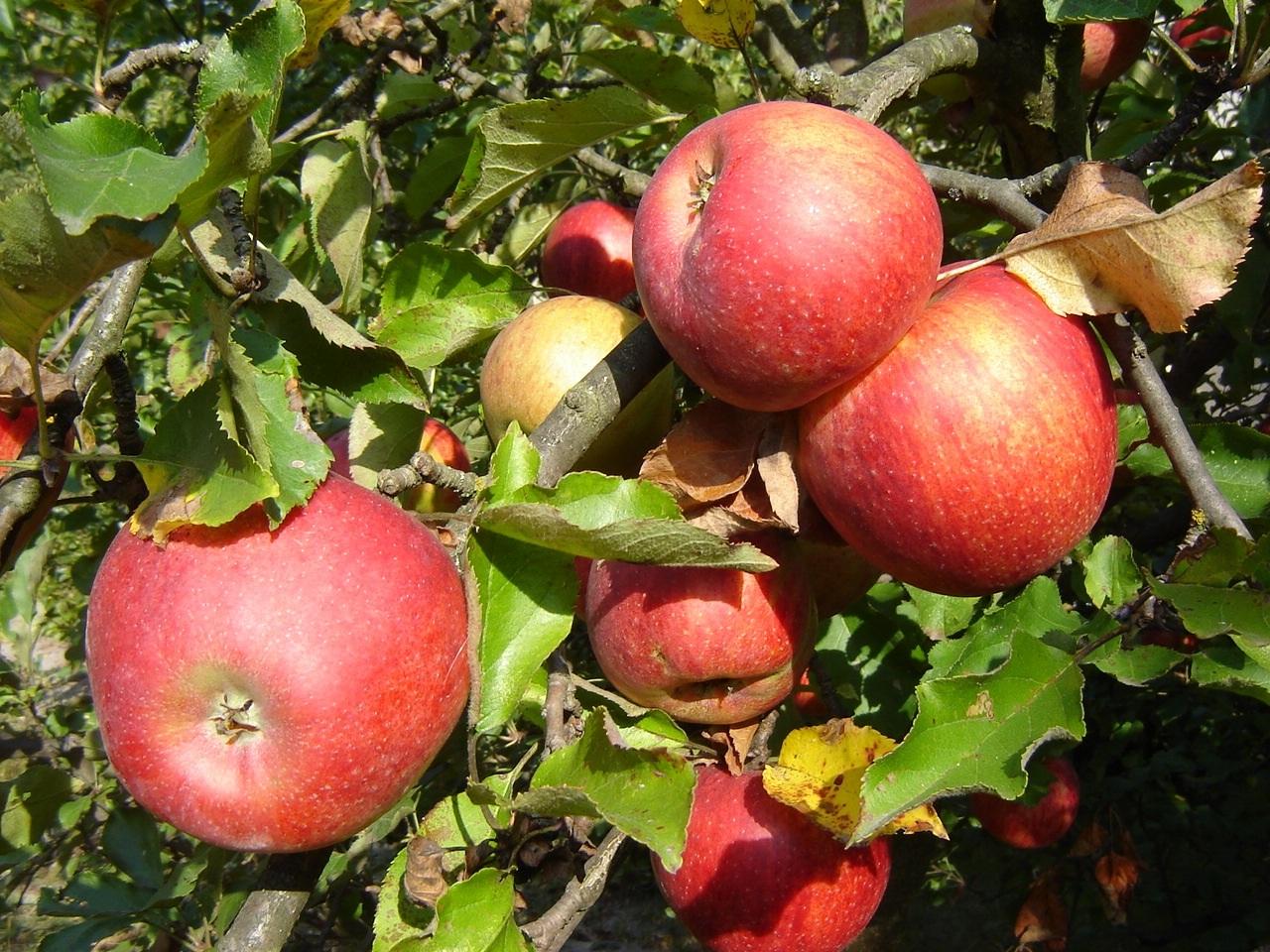 Сорти більшості плодових дерев