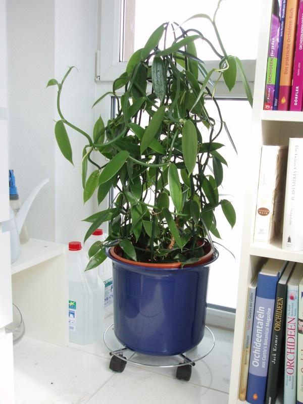Ванильная орхидея в домашних условиях уход 979