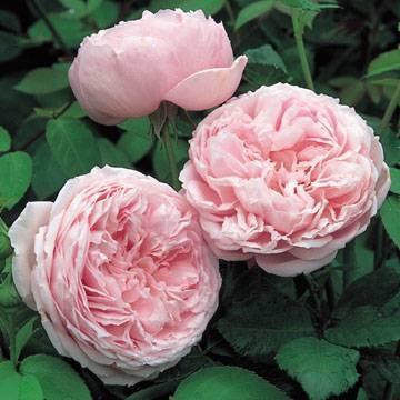 фото розы остина