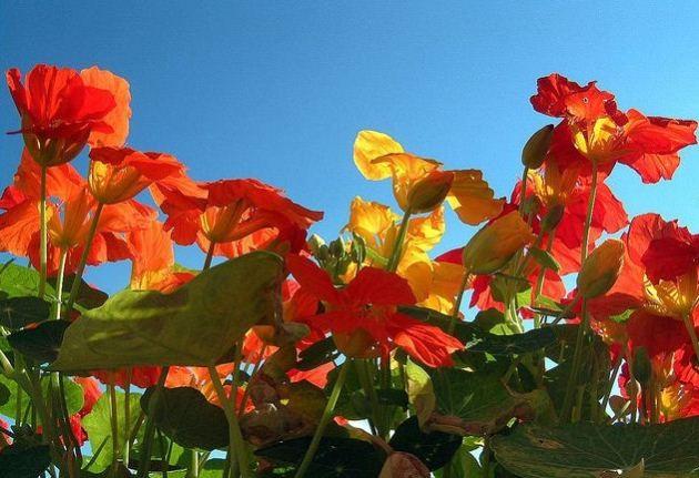 Вьющиеся растения для балкона и