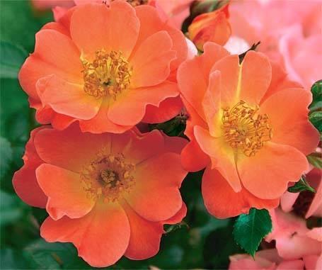 сорта роз со знаком adr