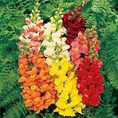 Цветы агератум хоустона