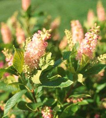 Цветущие летние кусты