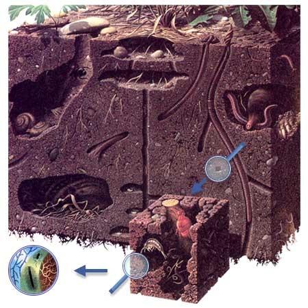 Газообразная часть, или почвенный воздух, заполняет поры, не занятые водой.  Количество и состав почвенного воздуха...
