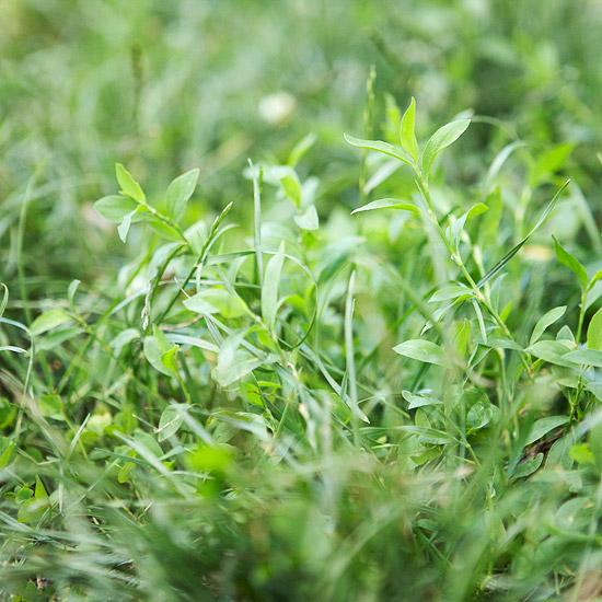Газонная трава с длинными тонкими стеблями