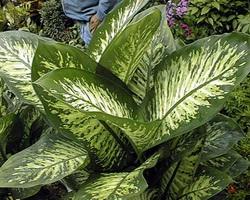 Цветок с зелеными листьями с белыми пятнами
