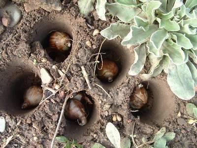 Осенние заботы о весенних луковичных цветах