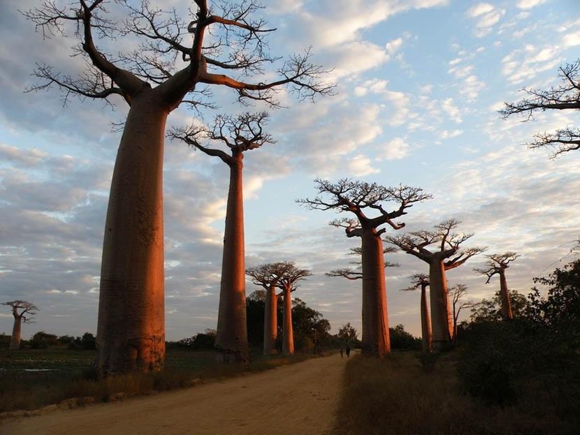 Самое толстое дерево  планеты