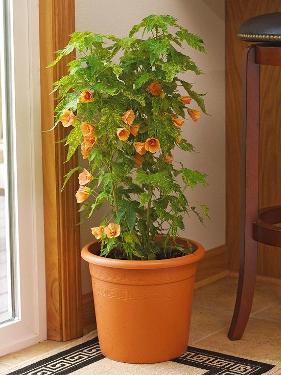 Абутилон гибридный, или комнатный клен, канатник, - это вечнозеленый кустарник, который можно выращивать в домашних...