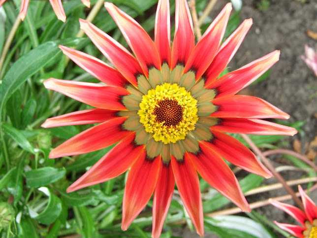 гацания цветок фото: