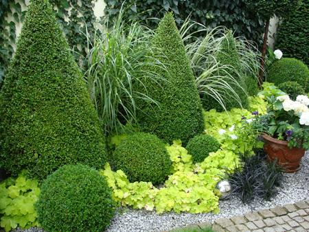 Вечнозеленый или буксус buxus sempervirens и