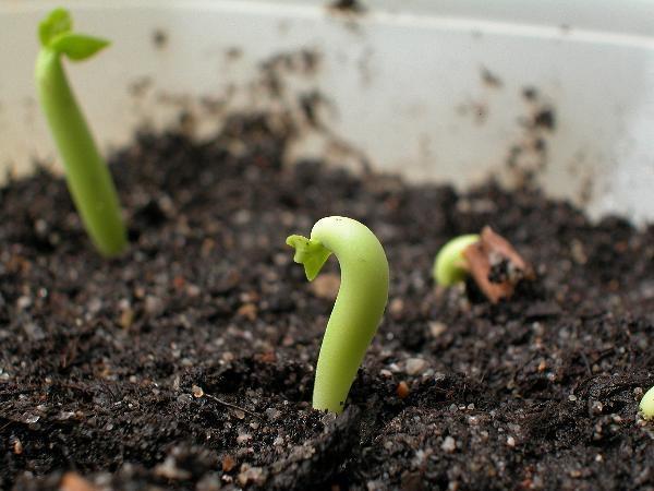 Выращивание фундук из ореха в домашних условиях 39