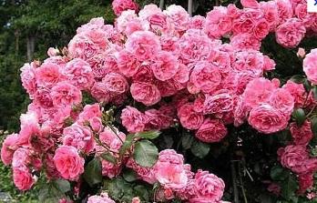 Плетистая роза розовая сорта
