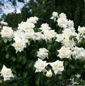 Белые плетистые розы сорта фото