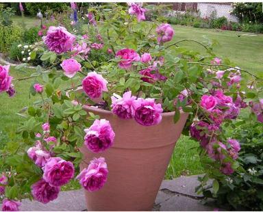 розы с знаком adr