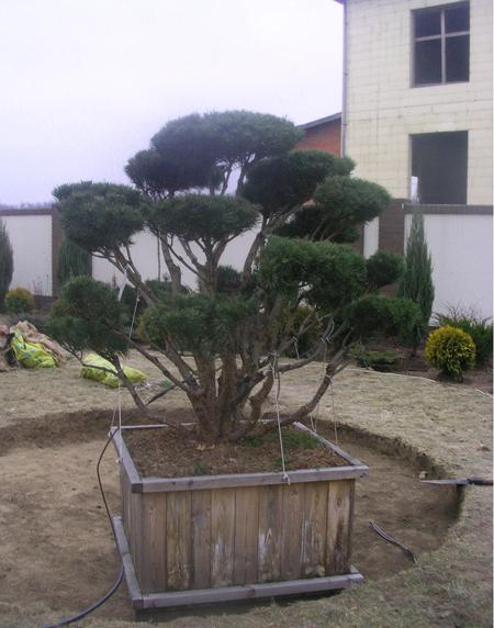 Садовый бонсай или ниваки