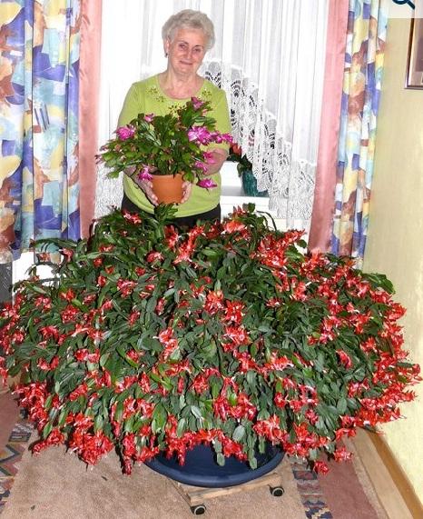 Рождественники уход в домашних условиях