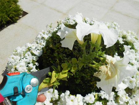 Как обрывать отцветшие цветы у петунии видео