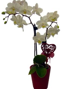 Цветы в горшках в подарок женщине цена живые цветы оптом в краснодаре цены тюльпаны