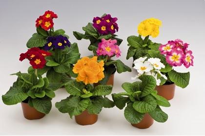 Цветы примула в горшке купить живые цветы энгельс