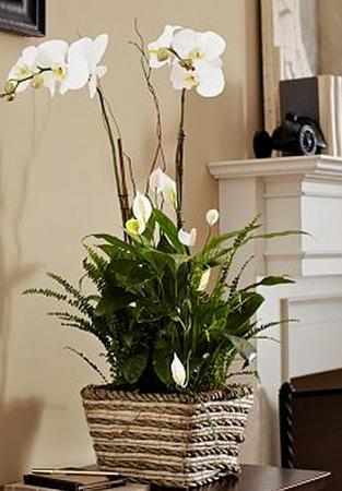Сорт вишни владимирская с фото и описанием