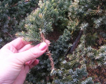 Размножение хвойников черенками под зиму
