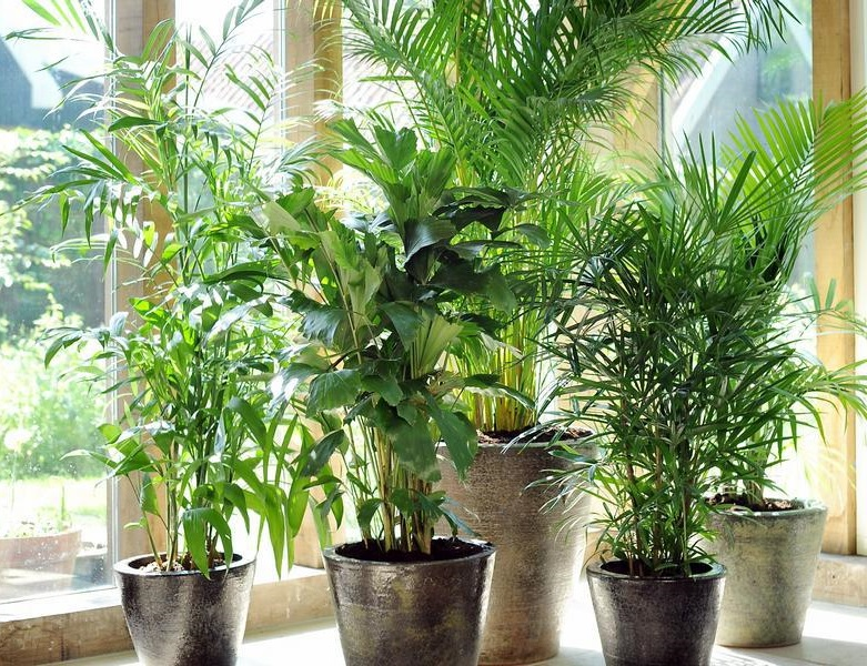 болезни комнатных растений денежное дерево