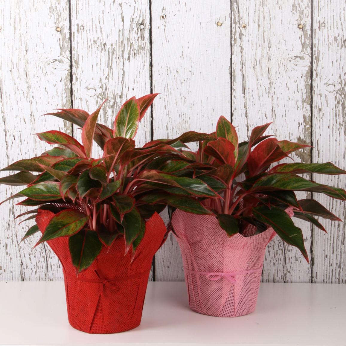 Цветок листья с красными прожилками