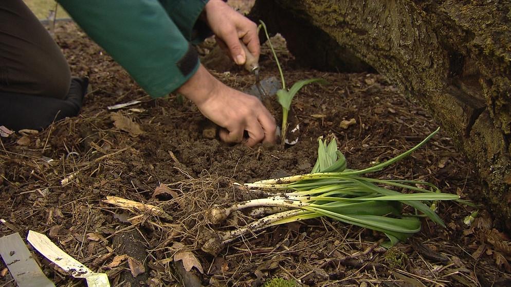 Как сажать семена подснежников 8