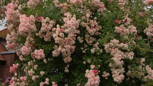 Где купить розы рамблеры где в питере купить цветы