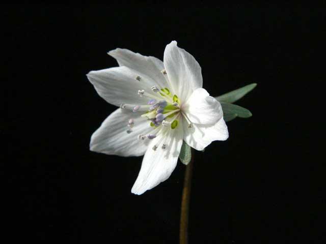 Весенник звездчатый выращивание из семян 92