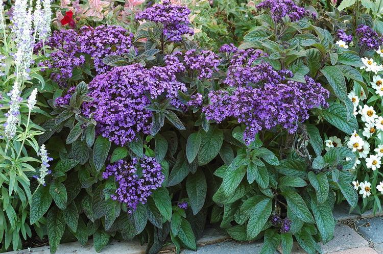 Цветок гелиотроп выращивание из семян, фото, уход и 8