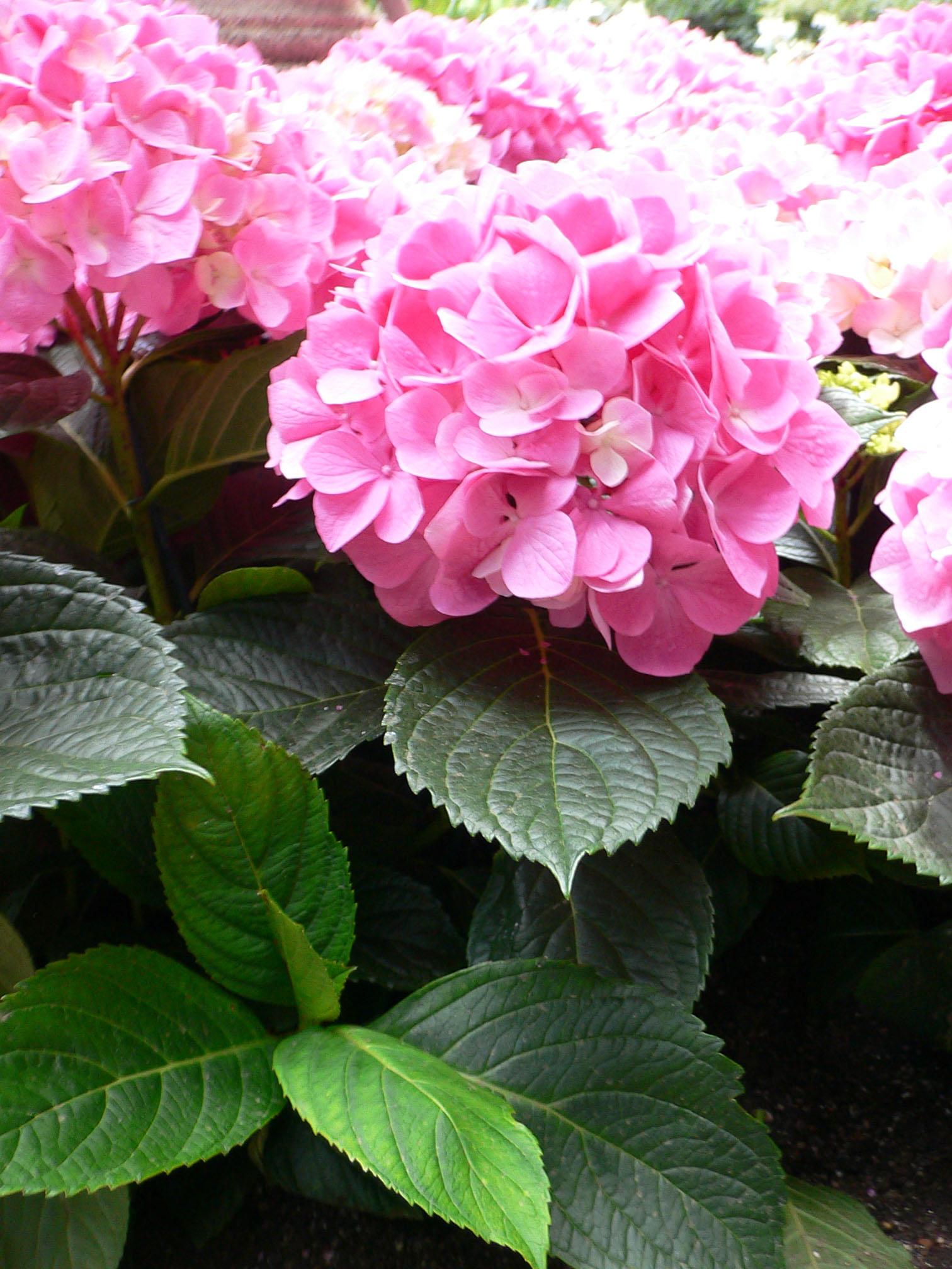 Комнатные цветы фото гортензия
