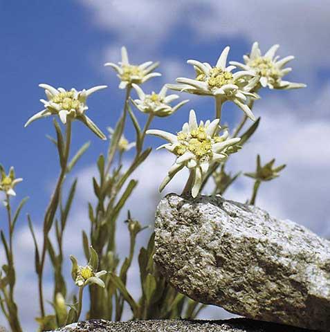 Эдельвейс - растения для сада на портале Ваш Сад: http://www.vashsad.ua/encyclopedia-of-plants/flower-garden/show/3102/