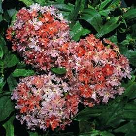 фото лихнис цветок
