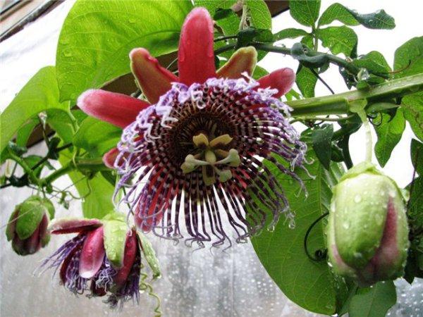 комнатные цветы ампельные фото: