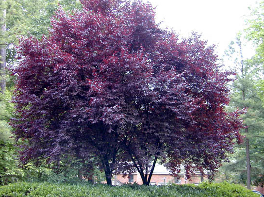 Prunus cerasifera pissardii for Arboles para veredas hojas perennes