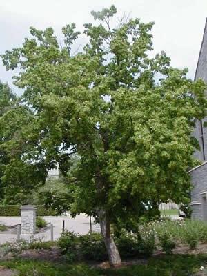 дерево сливы фото