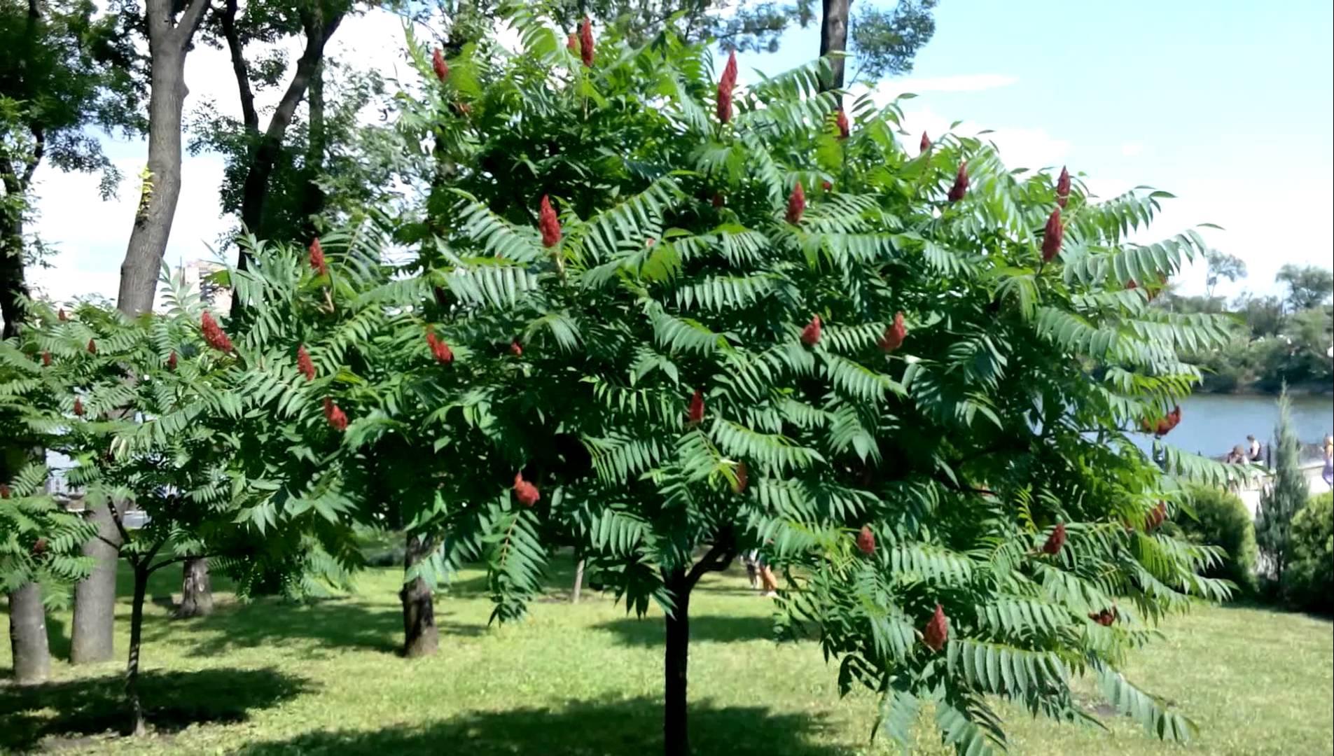 Уксусное дерево фото 3 фотография