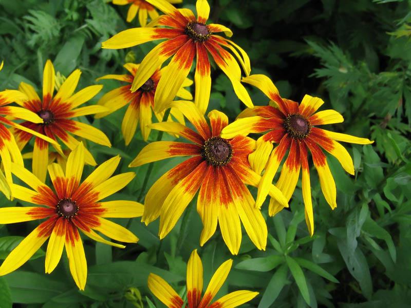 Калла (семейство аронниковых) Данный южноафриканский цветок имеет огромнейший спектр цвета: желтого, оттенки розового...