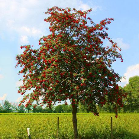 фото дерево рябина