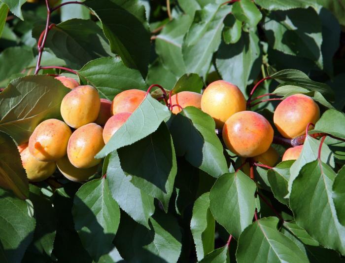 Цветет абрикос до появления листьев, от 5 до 9 дней.  Цветы белого или розового цвета, имеют похожее строение...