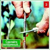 Прививка – сложно, но вполне  возможно. Часть 2. Окулировка.