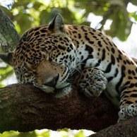 ...крупнейших хищных млекопитающих семейства кошачьих. .
