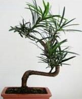 Сем таксодиевые taxodiaceae f neger