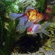 Аквариумные рыбки гурами мраморные и жемчужные их