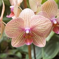 "Contributor: natavan abbasova Source: Интернет.  Орхидеи.  Community: Клуб любителей растений  ""Зеленая..."